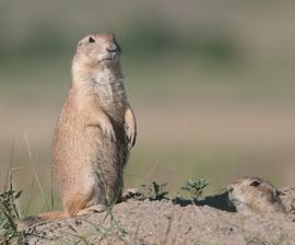 Prairie Dog Relocation